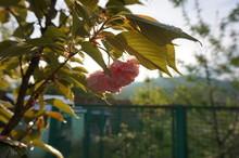 Sakura Flower In The Garden In The Rays Of The Setting Sun