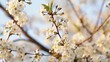 Close-up of cherry blossom in spring garden. Slow motion. White flowers on a branch swaying in the wind, warm evening light at sunset.