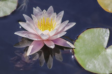 Pink Water Lily Bloom Close-up...