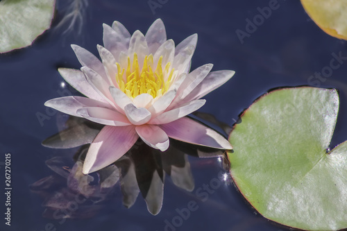 Wall Murals Water lilies Pink water lily bloom close-up reflected in purple water - selective focus