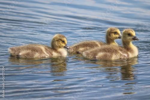 fototapeta na drzwi i meble Junge Kanadagänse schwimmen auf dem Wasser