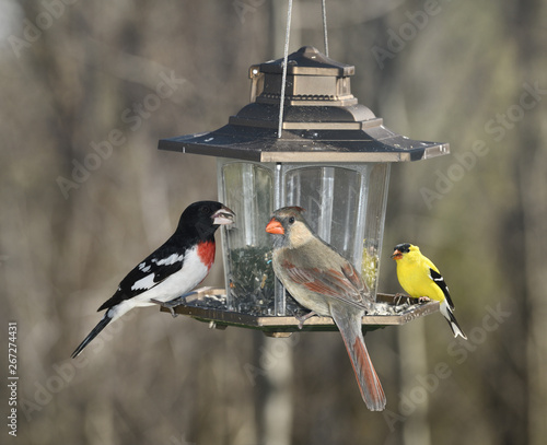Male Rose Breasted Grosbeak Female Northern Cardinal and male American Goldfinch Fototapet