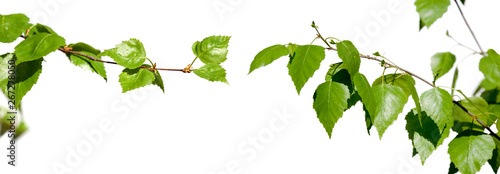 Fotografía  Young branches with green leaves isolated on white background.