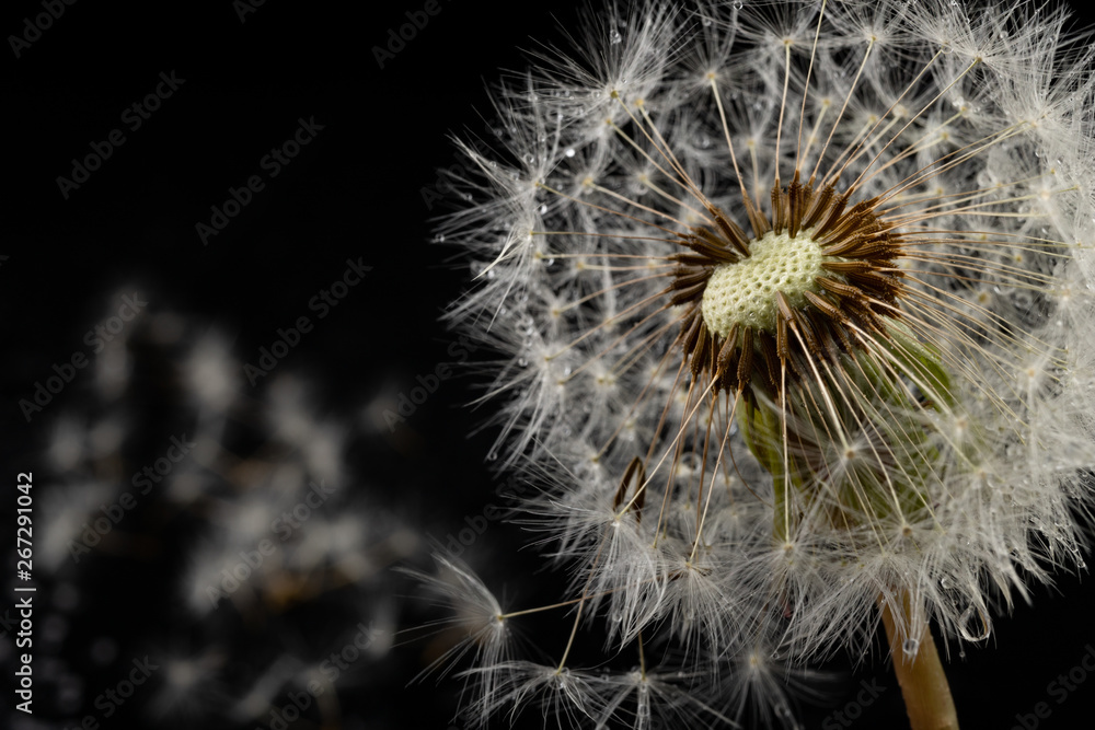 Fototapety, obrazy: Seeds of a dandelion on a dark table. Dandelion with drops of water.