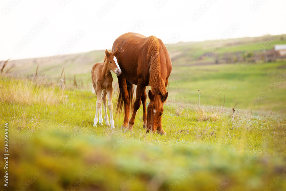 Obraz Close up photo of a little foal and his mom horse eating grass in field fototapeta, plakat