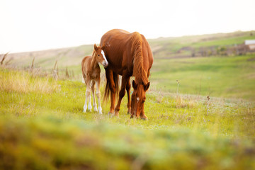 Close up photo of a little foal and his mom horse eating grass in field