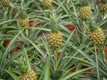 Anana Ananas Corona. Small Baby Pineapple Growing Up With Green Background