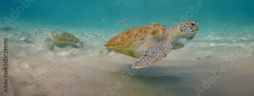 Tuinposter Schildpad Swimming with turtles views around the Caribbean island of Curacao