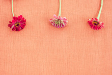Three Zinnias On Peach Colored Canvas With Copy Space