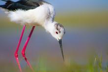 Common Water Bird. Colorful Nature Background. Bird: Black Winged Stilt. Himantopus Himantopus