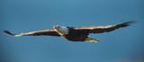 Fototapeta  - Bald eagle soaring