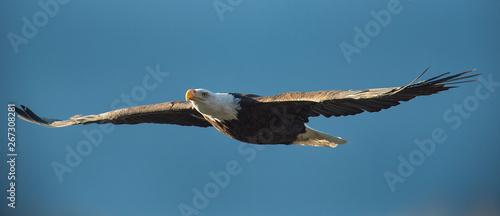 Obraz na płótnie Bald eagle soaring