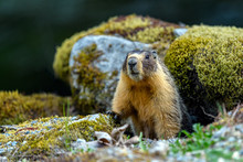 Yellow-bellied Marmot (Marmota...