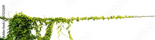 Fotografija Vine Plant leaves tropic, bush foliage tree isolated on white background have cl