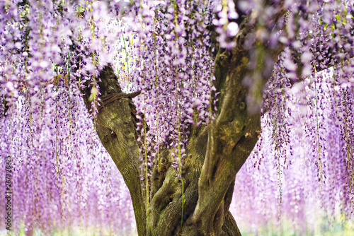 Wisteria Blossom in Japanese Garden Tablou Canvas