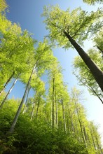 Spring Beech Forest Against The Blue Sky