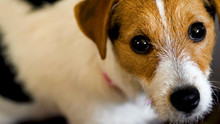 Jack Russell Terrier Dog Looking To Camera High Angle Shot