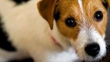 Jack Russell Terrier Dog Looki...