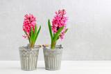 Pink hyacinth flowers on grey stone background