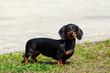 Leinwandbild Motiv Dog breed dachshund