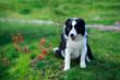 Leinwandbild Motiv Dog breed Border Collie
