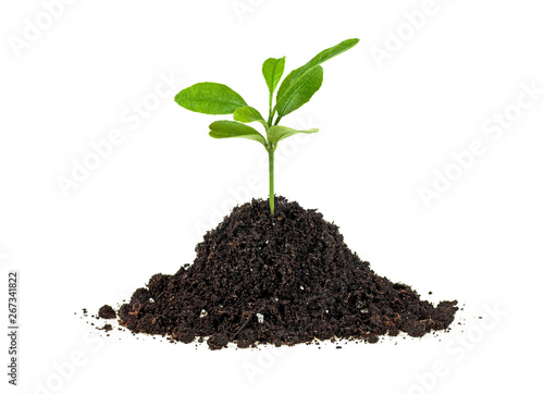 Poster Vegetal Concept of new life - small green plant growing from soil heap, white background.
