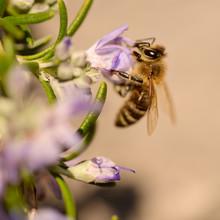 Bees, Honey Bee Sucking Nectar...