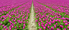 Endless Rows Of Purple Floweri...