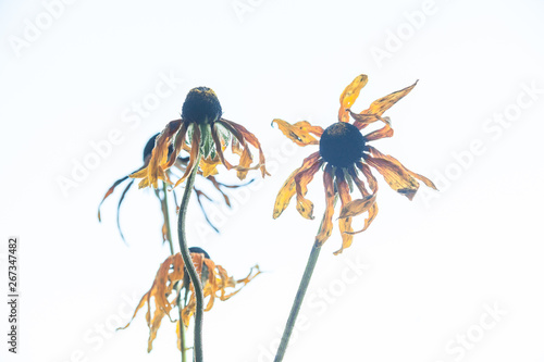 Photo  Withered echinacea flowers