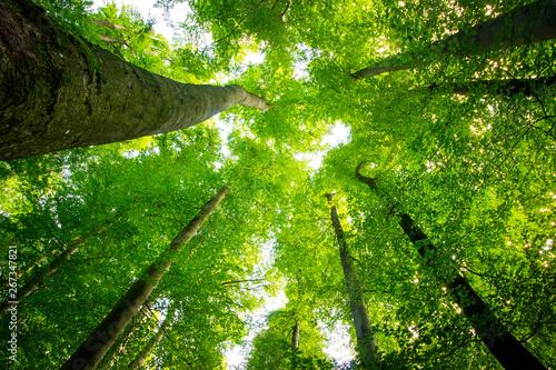 Fotografia  Impressive trees in the forest
