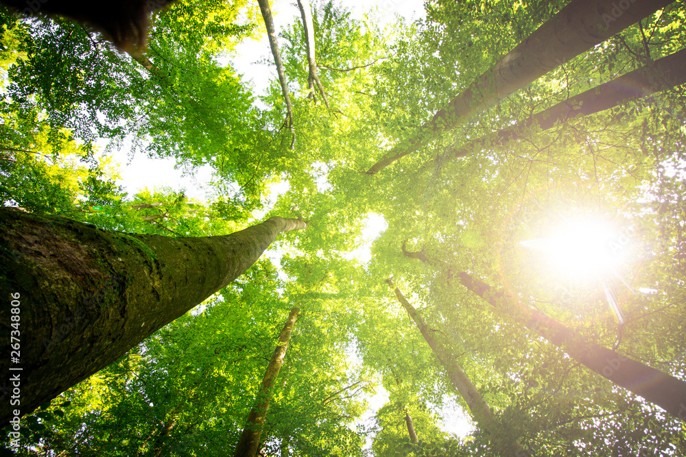 Fototapety, obrazy: Impressive trees in the forest. Fresh green, spring time. Bottom view.