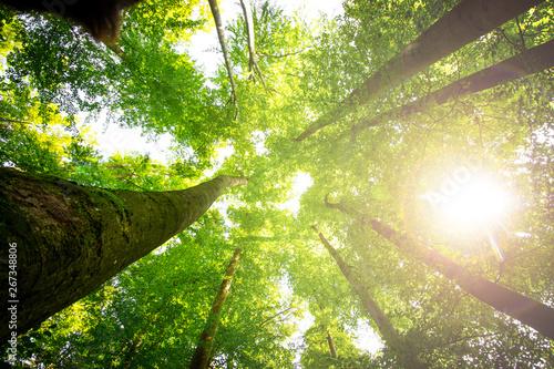 Carta da parati  Impressive trees in the forest