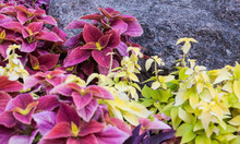 Coleus In The Flowerbed Near T...