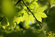Sycamore Maple Leaves In The Forest