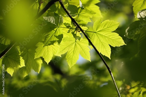 Sycamore maple leaves in the forest Fotobehang