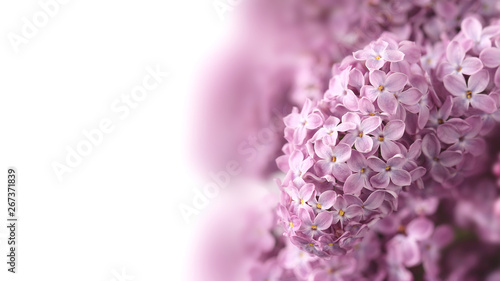 Foto op Canvas Hydrangea Lilac flowers isolated on white