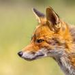 Leinwandbild Motiv Red Fox portrait sideview