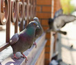 pigeons are sitting on an old forged fence