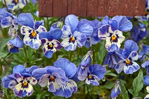 Horned pansy or viola cornuta violet flowers