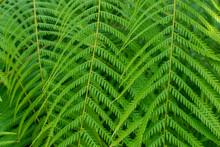 Mexican Tree Fern (Cibotium Sc...