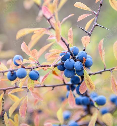 Fotografie, Tablou  Blackthorn (Prunus spinosa) berries