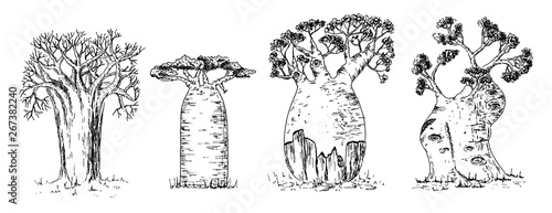 Slika na platnu Different types of African baobab set