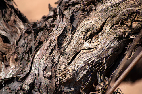 Close-up of vine trunk. Strain of old vineyard. Canvas-taulu