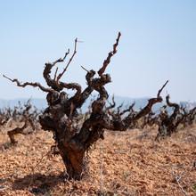 Old Vineyard With The Pruned V...