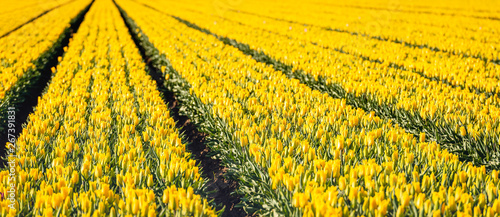 Yellow colored tulip flowers in long converging rows