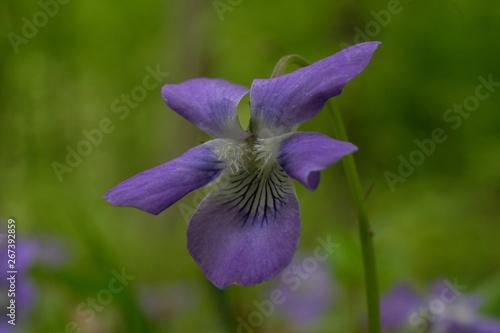 Fototapeta Fiołek wonny Viola odorata - fioletowy leśny kwiatek obraz