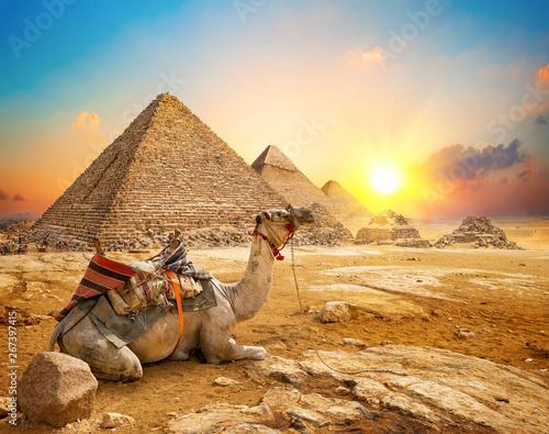 Poster Chameau Camel and pyramids
