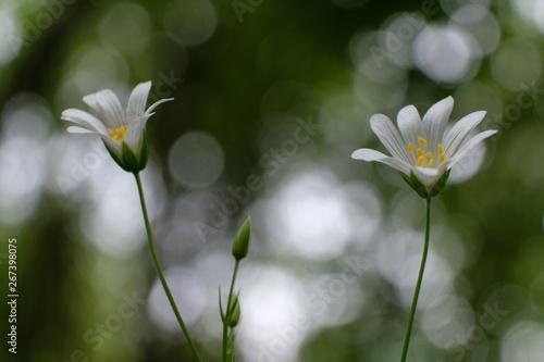 Obraz Gwiazdnica Stellaria - biały leśny kwiatek - fototapety do salonu