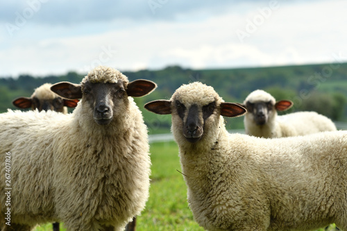 Spoed Fotobehang Schapen domestic sheep walks on a meadow and eats grass