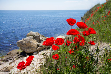 Fototapeta Maki Beautiful red poppies near the stony seashore on a sunny day. The blooming of red flowers on the Black Sea coast of Bulgaria. Close-up of the open buds and grass next to the bright limestone rock.